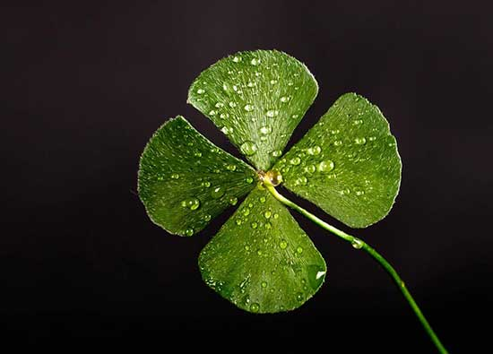 A bright four leaf clover with water droplets on the leaves against a black background.